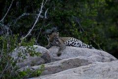 Un cucciolo del leopardo Fotografia Stock