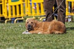 Un cucciolo del mastino fotografia stock libera da diritti