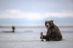 Un cucciolo dell'orso grigio che enyoing il suo pasto Immagini Stock