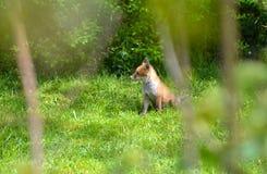 Un cucciolo della volpe in primavera Immagine Stock Libera da Diritti