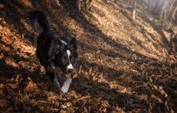 Un cucciolo di border collie cammina nella foresta di autunno Immagini Stock Libere da Diritti