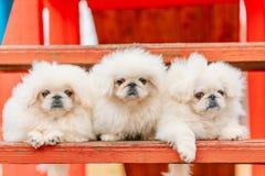 Un cucciolo di cane bianco di tre dei cuccioli di pechinese del pechinese cuccioli di pechinese Fotografie Stock