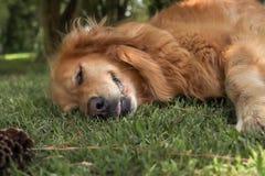 Un cucciolo di cane che risiede nell'erba verde fotografie stock libere da diritti