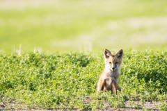 Un cucciolo di Fox che si siede nell'erba sulla prateria Fotografia Stock