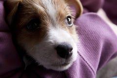 Un cucciolo di Jack Russel Immagini Stock Libere da Diritti