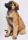 Un cucciolo di Leonberger Fotografia Stock