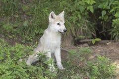 Un cucciolo di lupo artico solo nel legno Immagini Stock Libere da Diritti