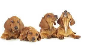 Un cucciolo di quattro bassotti tedeschi stock footage