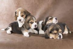 Un cucciolo di quattro cani da lepre Fotografia Stock Libera da Diritti