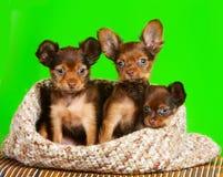 Un cucciolo di tre rossi che si siede su un fondo verde Fotografie Stock Libere da Diritti
