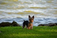 Un cucciolo di Yorkie al bordo delle acque immagini stock