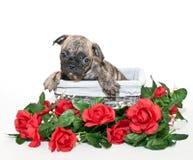 Un cucciolo dolce di Boston Terrier Fotografie Stock Libere da Diritti