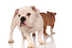 Un cucciolo inglese curioso del bulldog ed altro allontanarsi Fotografia Stock