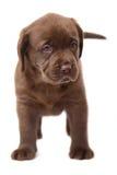 Un cucciolo Labrador del cioccolato. Fotografia Stock Libera da Diritti