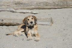Un cucciolo marrone indica nella sabbia alla spiaggia immagini stock libere da diritti
