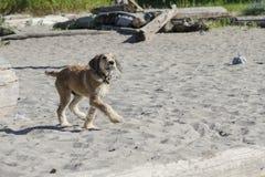 Un cucciolo marrone va a zonzo attraverso la sabbia alla spiaggia Fotografia Stock