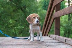 Un cucciolo premuroso del cane da lepre con un guinzaglio blu su una passeggiata in un parco della città Ritratto di un cucciolo  fotografia stock