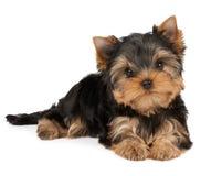 Un cucciolo su bianco fotografie stock libere da diritti
