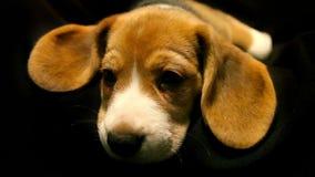 Un cucciolo sveglio del cane da lepre di sonno video d archivio