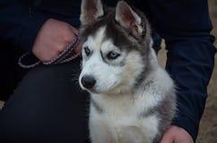 Un cucciolo sveglio del husky con gli occhi azzurri si siede accanto alla gamba del padrone che esamina la distanza L'esposizione immagine stock