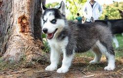 Un cucciolo sveglio dell'Alaska Fotografia Stock Libera da Diritti