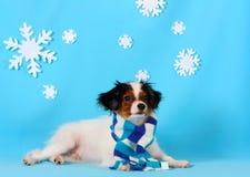 Un cucciolo sveglio di una razza di falen si trova su un fondo blu con i fiocchi di neve bianchi Fotografia Stock