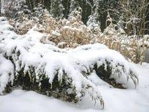 Un cuento nevoso por la charca El arbusto de enebro se cubre con nieve imagen de archivo libre de regalías