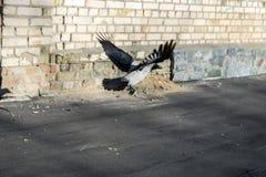 Un cuervo del vuelo foto de archivo libre de regalías