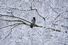 Un cuervo en un bosque nevado en una rama Fotos de archivo libres de regalías