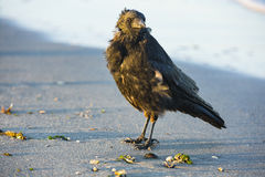 Un cuervo en la playa Imagen de archivo