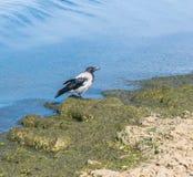 Un cuervo gris del crowOne gris busca la comida en el fango del mar en la costa imagenes de archivo