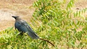 Un cuervo mojado en la lluvia que se sienta en una sacudida del árbol de neem hasta quita el agua almacen de video