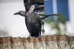 Un cuervo negro imagen de archivo libre de regalías