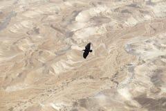Un cuervo negro vuela en la gran altura sobre el desierto de Judean Imagen de archivo libre de regalías