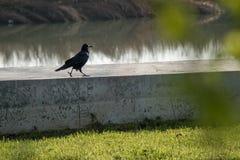 Un cuervo que camina en el hormigón fotografía de archivo