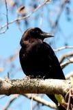 Un cuervo se sienta en una ramificación Imagen de archivo libre de regalías