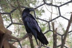 Un cuervo solitario en una jaula en la reserva foto de archivo