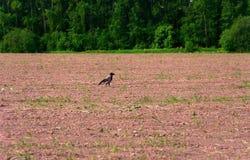 Un cuervo solo en el campo fotos de archivo