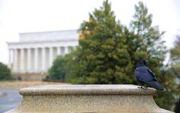 Un cuervo todavía se coloca delante del Lincoln memorial Fotografía de archivo libre de regalías