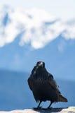 Un cuervo toma una rotura en el huracán Ridge, los E.E.U.U. Foto de archivo libre de regalías