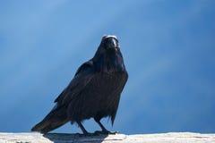Un cuervo toma una rotura en el huracán Ridge, los E.E.U.U. Imagenes de archivo