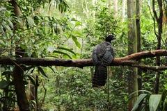 Un curassow dans la forêt photos libres de droits