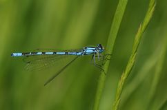 Un cyathigerum blu abbastanza comune di Enallagma del Damselfly che si appollaia su una lama di erba fotografia stock libera da diritti