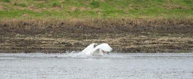 Un cygne blanc nage sur le lac photo libre de droits