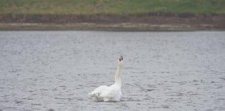 Un cygne blanc nage sur le lac images libres de droits