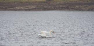 Un cygne blanc nage sur le lac images stock