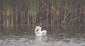 Un cygne blanc nage sur le lac image stock