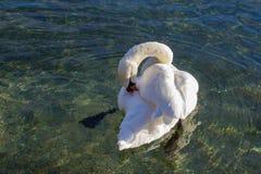 Un cygne blanc nettoie son changement de pas Photo libre de droits