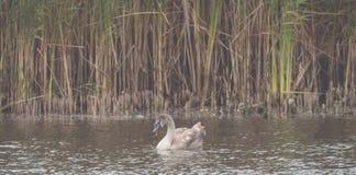 Un cygne brun nage sur le lac images stock
