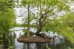 Un cygne construit son nid sur une petite île sur Norwood Lake du sud, images libres de droits